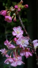 お部屋で夜桜見物