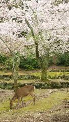 葉桜も美しいですが