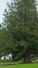 アイルランドの大木