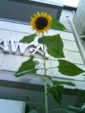 向日葵の謎