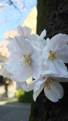 桜のアーチをくぐって