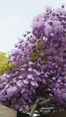 紫色のかんざし